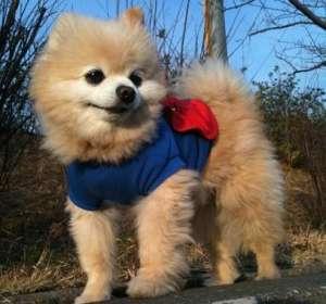 详细英系博美,英式博美,英式博美犬的特征
